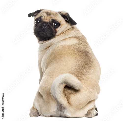Fotografie, Obraz Rear view of a Pug isolated on white