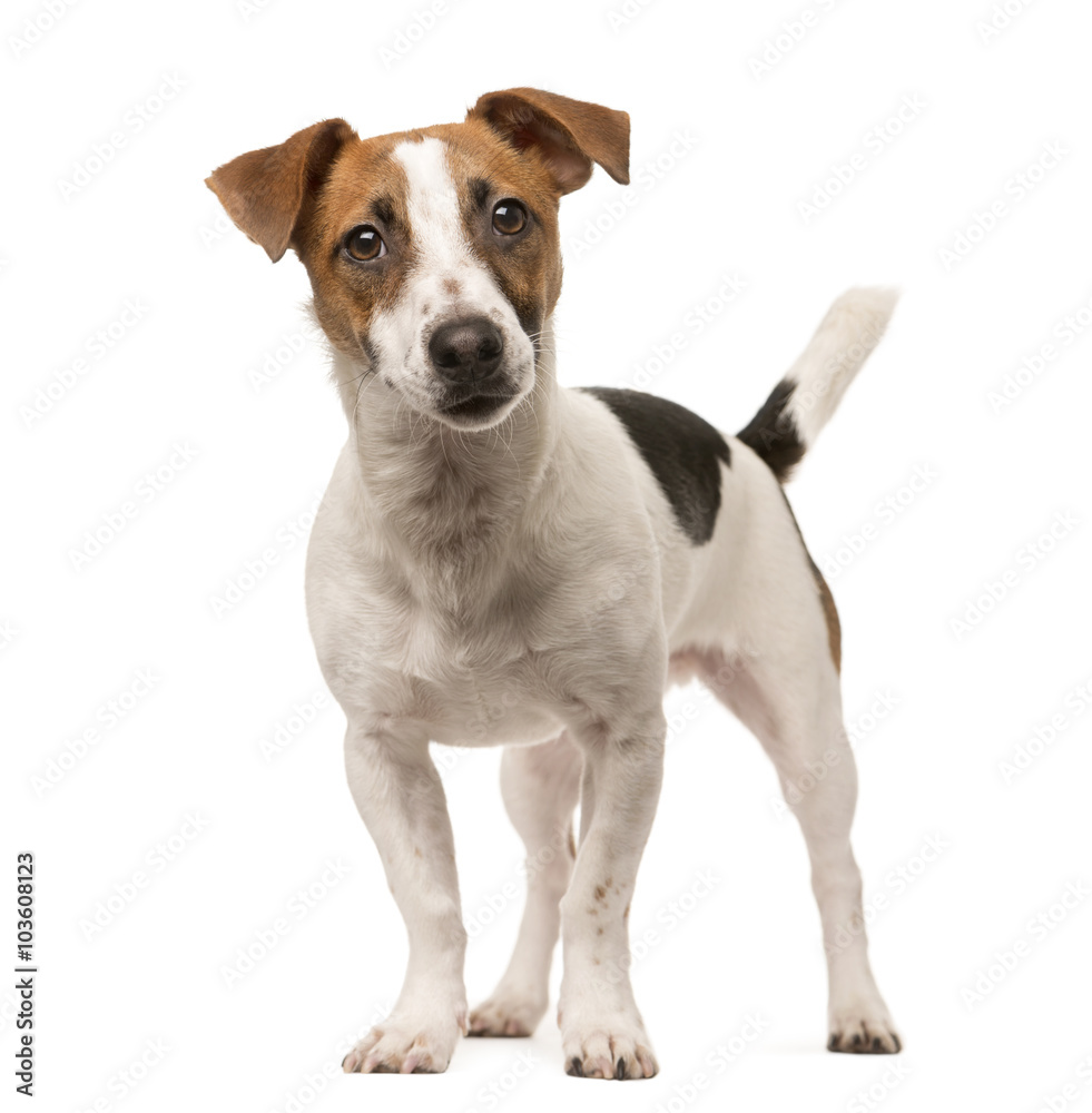 Fototapety, obrazy: Jack Russell looking at the camera, isolated on white