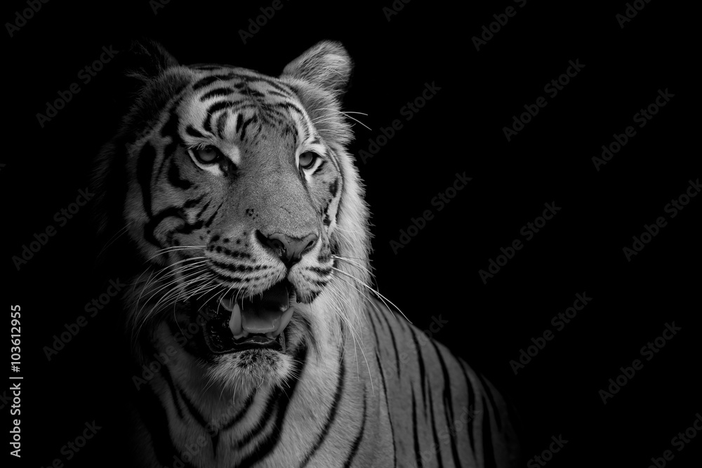 Fototapeta close up face tiger isolated on black background