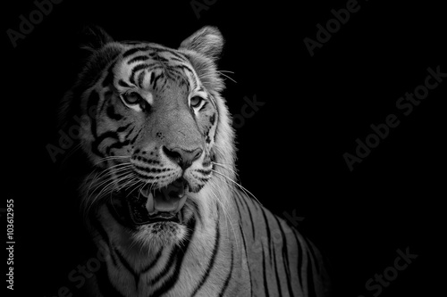 фотографія  close up face tiger isolated on black background