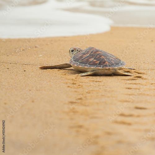Foto op Aluminium Schildpad Hawksbill sea turtle on the beach, Thailand.
