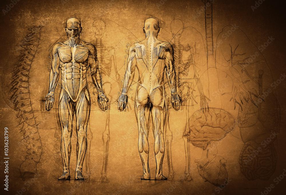 Menschliche Anatomie Zeichnung, alt, Leinwand Foto, Poster ...