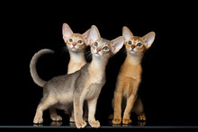 Three Cute Abyssinian Kittens ...