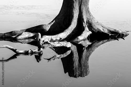 Fotografie, Obraz  Old tree stump in shallow water with reflection