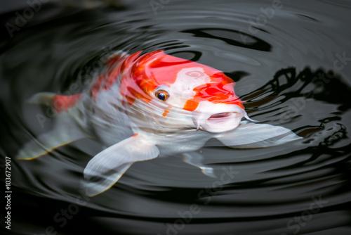 Valokuva Japan Koi im Garten Teich rot weiß