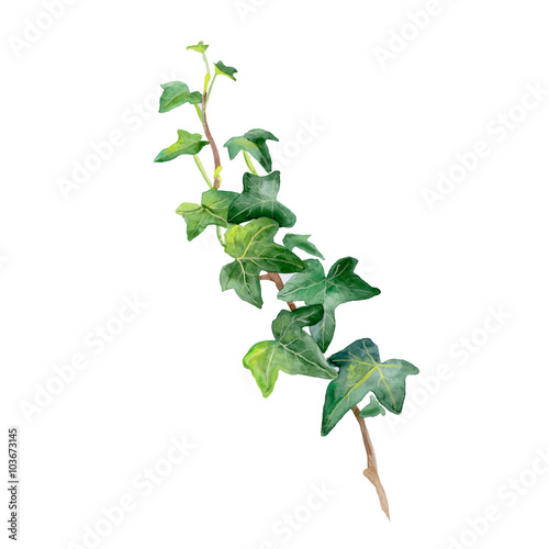 Fotografie, Obraz  Watercolor drawing of green ivy sprig isolated on white background