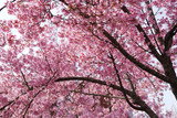 pink cherry blossom in sunny day under blue sky