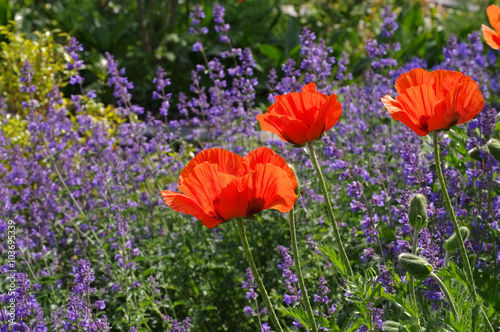 Obraz Tuerkischer Mohn und Katzenminze - oriental poppy and catmint - fototapety do salonu