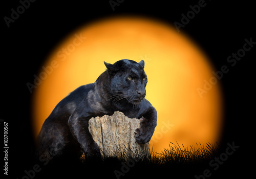 Photo Stands Panther Black leopard on the background of sunset