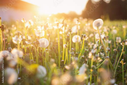 Spoed Foto op Canvas Natuur Green summer meadow with dandelions at sunset. Nature background