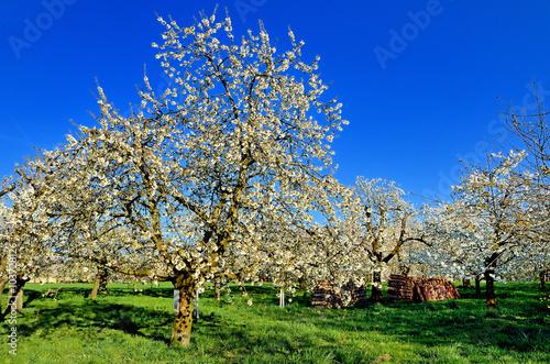 Photo sur Toile Bleu fonce Kirschbaumblüte - Idylle in Weiß