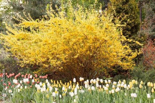 Fototapeta Tulips in front of spectacular yellow forsythia