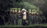 Rolnicy uprawiają ryż w porze deszczowej. Nasączono je wodą i błotem, aby przygotować się do sadzenia. odczekaj trzy miesiące, aby zebrać plony. - 103754724