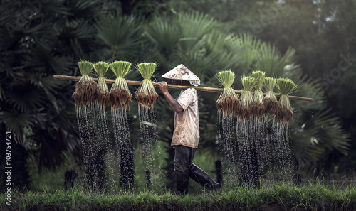 Fotografie, Obraz Farmers grow rice in the rainy season