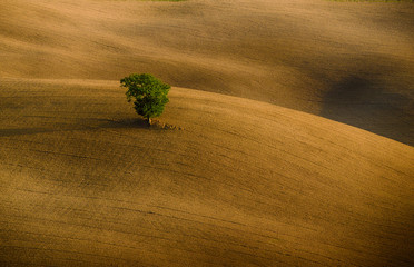 Fototapeta Toskania Lonely green tree over the hill in the Tuscany, Italy. Natural landscape background