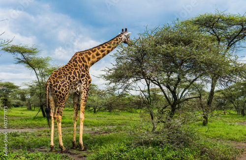 giraffe eating Acacia tree leaves in the Serengeti landscape
