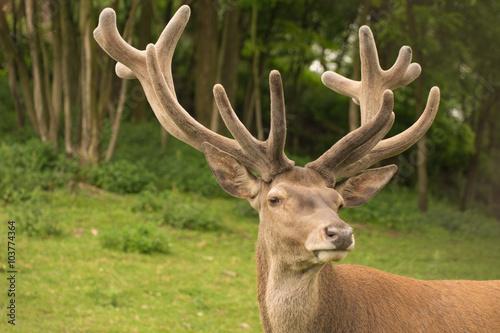 Poster Cerf deer handsome
