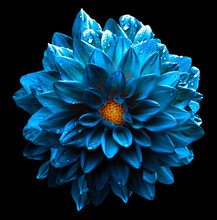 Surreal Wet Dark Chrome Turquoise And Yellow And White Flower Dahlia Macro Isolated On White