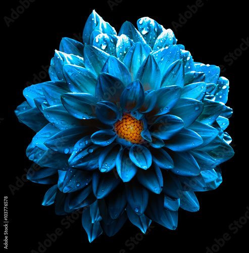 Poster de jardin Dahlia Surreal wet dark chrome turquoise and yellow and white flower dahlia macro isolated on white