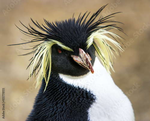 Rock hopper Penguin .