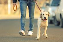 Owner And Labrador Dog Walking...