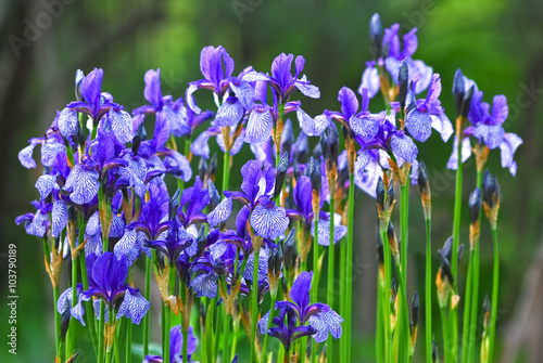 Many flowers of the Siberian iris