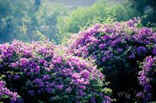 Purple Bougainvillea On Evening