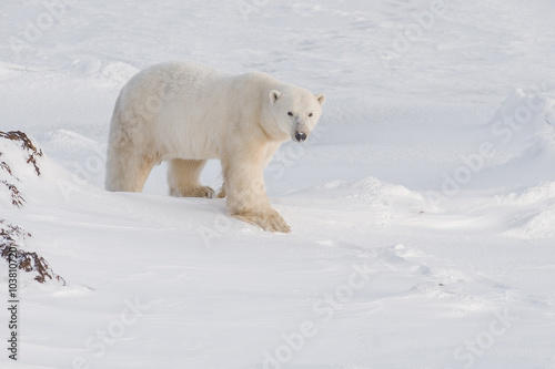 Tuinposter Ijsbeer Wild male polar bear walking in evening light. Arctic.