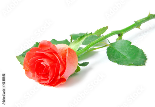 rose isolated on white background © Pakhnyushchyy