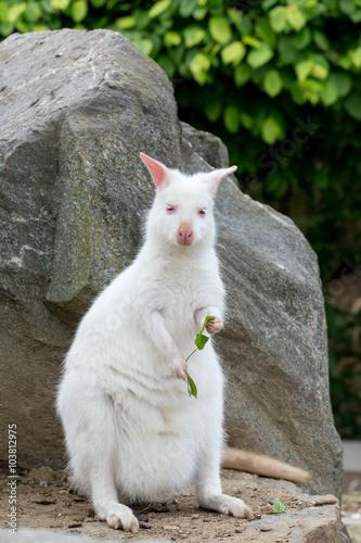 Fotografie, Obraz  Closeup of a Red-necked Wallaby white albino female