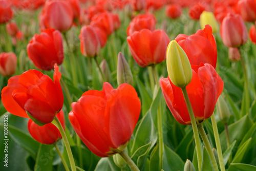 Poster de jardin Rouge field with tulips