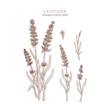 Botanical Illustration Of Lavender On White Background. Vector Hand-drawn Sketch In Woodcut Style.