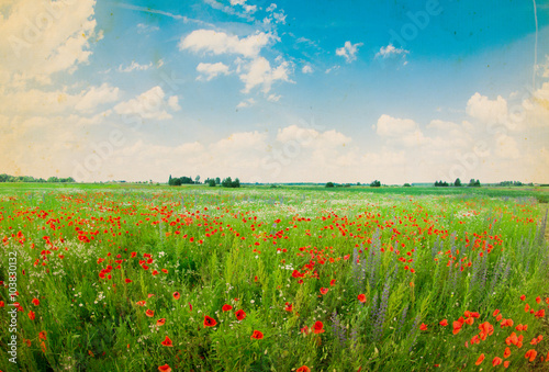 plakat Field of bright red corn poppy flowers in summer