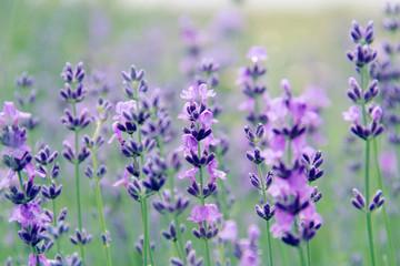 Fototapeta Lawenda field lavender flowers