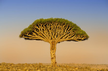 One Large Endemic Amazing Dragon Tree At The Center Of The Valley. Yemen. Socotra. Far Away On The Horizon, Many Dragon Trees.