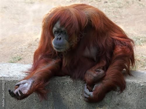 Wall Murals Ostrich Orangutan in captivity in a zoo