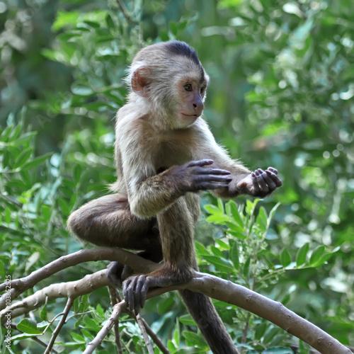 capuchin monkey cub on tree branch Canvas Print