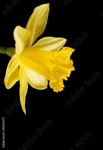 In de dag Narcis Yellow daffodil on a black background