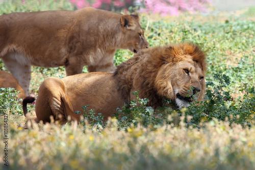 In de dag Panter male lion