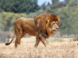 Close Up picture of a male lion on the grass