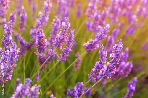 Fototapety, obrazy: Beautiful colors of lavender field in Provence