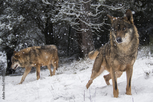 Poster Wolf Wolves in the snow in winter