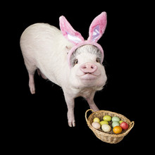 Funny Pig Easter Bunny With Ba...