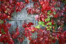 Red Leaves Of Decorative Grape...