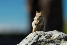Golden Mantled Squirrel Eating...