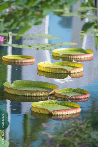 Foto  Huge floating lotus,Giant Amazon water lily,Victoria amazonia