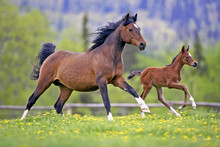 Bay Mare Horse  And Foal Gallo...
