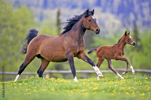 obraz dibond Bay Mare Horse and Foal galloping together in spring meadow