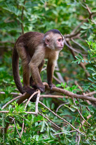 Fotografia, Obraz  capuchin monkey cub on tree branch