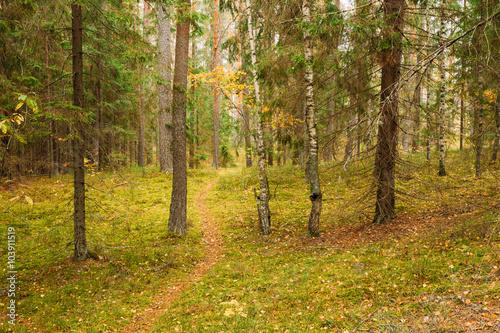 Foto op Plexiglas Berkbosje Winding path lane walkway way through beautiful coniferous autum